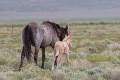 Yegua y potro del caballo salvaje imagenes de archivo