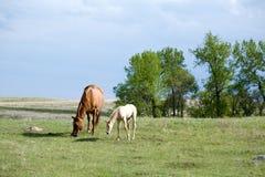 Yegua y potro en pasto Fotografía de archivo