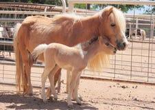 Yegua y potro miniatura del caballo Fotografía de archivo libre de regalías