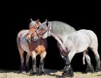 Yegua y semental de la raza de Brabante aislado en el negro Fotografía de archivo