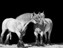 Yegua y semental de la raza de Brabante aislado en el negro Imagenes de archivo