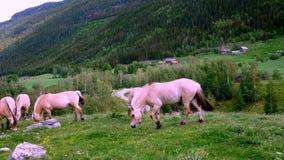 Yeguas hermosas de los caballos del fiordo que pastan en hierba verde en pasto de la ladera almacen de video