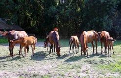 Yeguas jovenes y fols que comen la hierba verde en rancho del caballo Foto de archivo