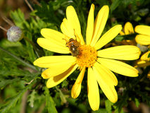 Or Yehuda Bee on Daisy 2011. Bee on a Yellow Daisy in Or Yehuda, Israel Royalty Free Stock Image