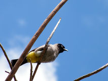 Or Yehuda Black-eyed Bulbul on branch 2011 Stock Photo