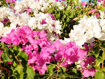 Or Yehuda Bougainvillia 2010 Stock Images