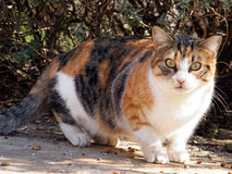 Or Yehuda Cat 2011. Beautiful Big Kitty isolated in Or Yehuda, Israel Stock Images