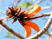 Or Yehuda Coral Tree flower  2011 Stock Image