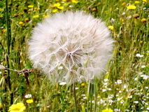Or Yehuda Dandelion 2006 Stock Photography