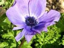 Of Yehuda de bloem van de Kroonanemoon isoleerde 2011 Stock Afbeelding