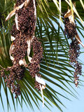 Or Yehuda Euterpe Oleracea fruits 2010 Stock Images