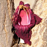 Or Yehuda Kigelia pinnata flower petal 2010. Flower petal on Kigelia pinnata trunk in Or Yehuda, Israel Royalty Free Stock Photography
