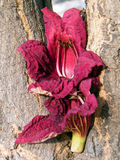 Or Yehuda Kigelia pinnata flower petals 2010. Flower petals on Kigelia pinnata trunk in Or Yehuda, Israel Royalty Free Stock Photos