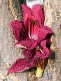 Or Yehuda Kigelia pinnata flower petals 2010 Royalty Free Stock Photos