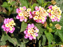 Of Yehuda Lantana-bloemen 2011 Royalty-vrije Stock Afbeelding