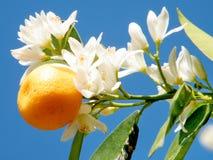 Of Yehuda-mandarijnfruit en bloemen 2011 Royalty-vrije Stock Foto's