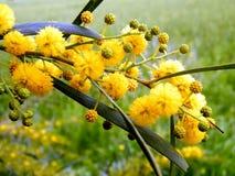 Of Yehuda-mimosa 2011 Royalty-vrije Stock Afbeeldingen