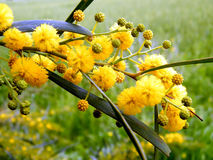 Or Yehuda mimosa 2011 Royalty Free Stock Images
