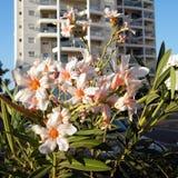 Of Yehuda Nerium Oleander 2010 stock afbeeldingen