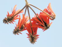 Or Yehuda Neve Savyon Coral Tree Flowers 2007 royalty free stock images