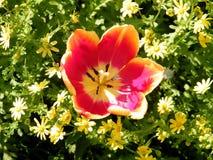 Or Yehuda orange tulip flower 2011 Royalty Free Stock Photo