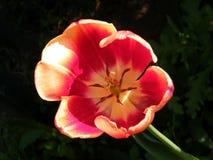 Of Yehuda Orange Tulip isoleerde 2011 Royalty-vrije Stock Afbeeldingen
