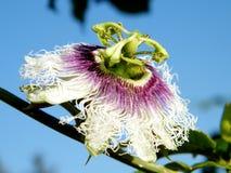 Of Yehuda Passiflora-bloem 2011 Royalty-vrije Stock Afbeeldingen