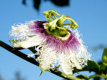 Or Yehuda Passiflora flower 2011. Passiflora flower isolated in Or Yehuda, Israel royalty free stock images