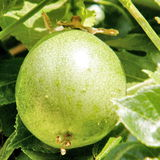 Or Yehuda Passiflora fruit 2010 Stock Images