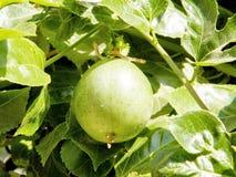 Or Yehuda Passiflora 2010. Ripening Passiflora fruit in Or Yehuda, Israel royalty free stock photo