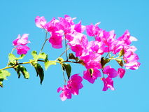 Or Yehuda Pink Bougainvillia 2010 Stock Image
