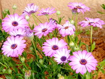 Or Yehuda Purple Osteospermum 2010 Stock Photo