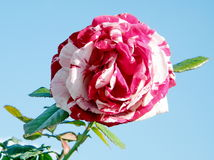 Or Yehuda Red and White rose 2011 Royalty Free Stock Images