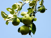 Or Yehuda Ripening Lemons  2010 Royalty Free Stock Photos