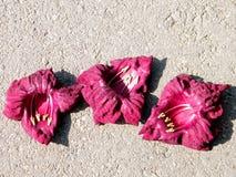 Or Yehuda Sausage Tree flowers October 2010 Royalty Free Stock Image