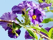 Of Yehuda Solanum Rantonnetii-bloemen 2011 Stock Foto