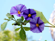 Or Yehuda Solanum Rantonnetii branch 2011 Royalty Free Stock Image