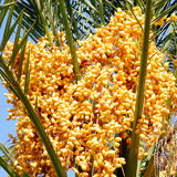 Or Yehuda Yellow Date Palm 2010 Royalty Free Stock Photos