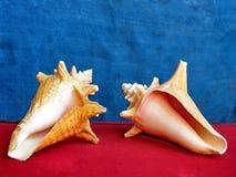 Of Yehuda-zeeschelpen 2010 Royalty-vrije Stock Afbeelding