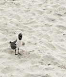Yelling seagull Royalty Free Stock Photos