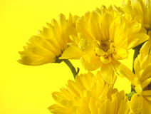 Yelllow daisies in a bunch. A small bunch of yellow daisies on a yellow colored background. There is copy space on the left side stock images