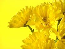 Yelllow-Gänseblümchen in einem Bündel Stockbilder