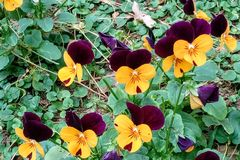 Yelllow i purpurowi pansies obrazy stock