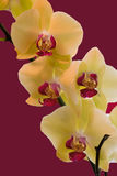 Yelllow and Magenta Orchids. Magnificent Phalaenopsis Orchids at full bloom Royalty Free Stock Image