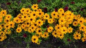 Yelllow rudbeckia flowers Royalty Free Stock Photography