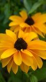 Yelllow rudbeckia flowers Stock Photography