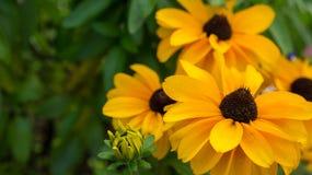 Yelllow rudbeckia flowers Stock Images