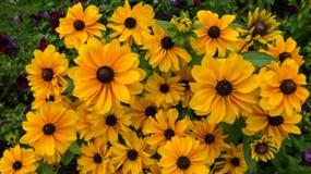 Yelllow rudbeckia kwiaty Zdjęcie Royalty Free