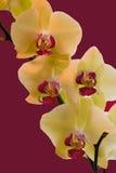 Yelllow und magentarote Orchideen lizenzfreies stockbild