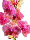 Yelllow und magentarote Orchideen lizenzfreie stockfotos